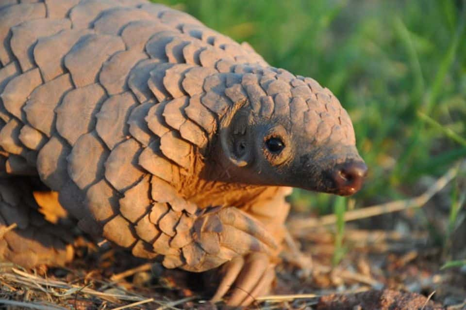 Young Pangolin
