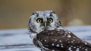 wildlife in greece owl of minerva