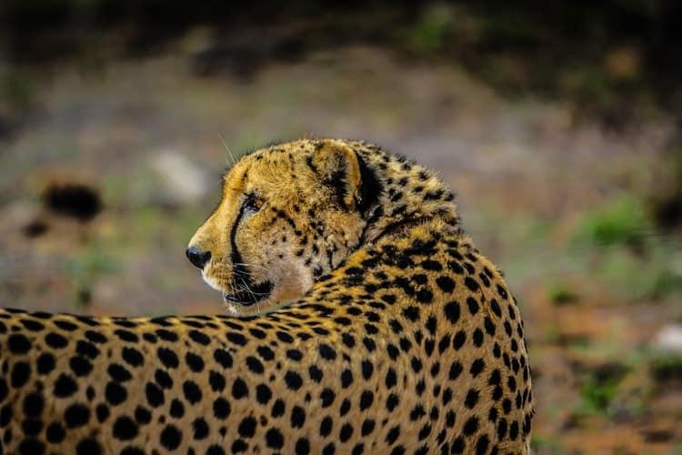 Gepardenkatze
