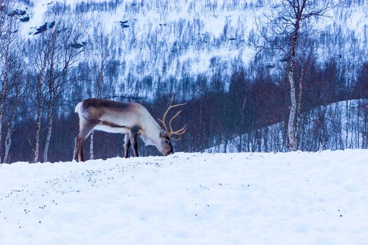 Finest example of Sweden's wildlife is a reindeer