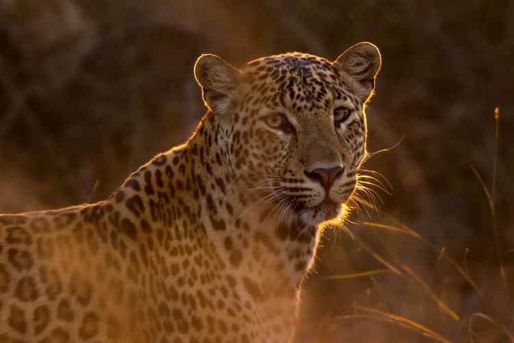 Grandes felinos: un leopardo en Asia