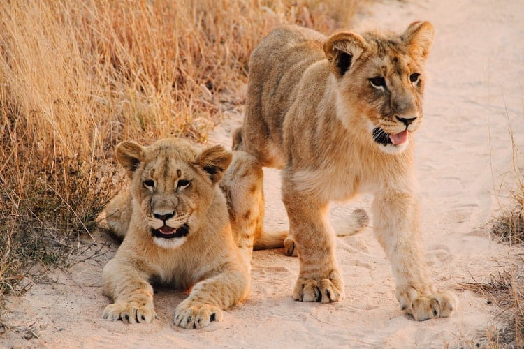 Lion cubs; big cats brother and sister
