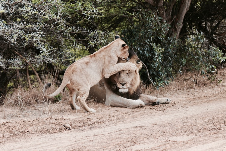 lions during lock down in Kruger national park