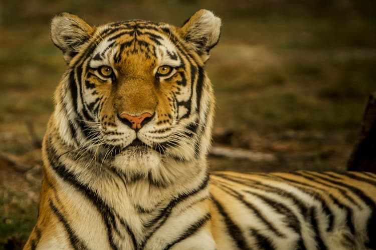 Bengal tiger; india