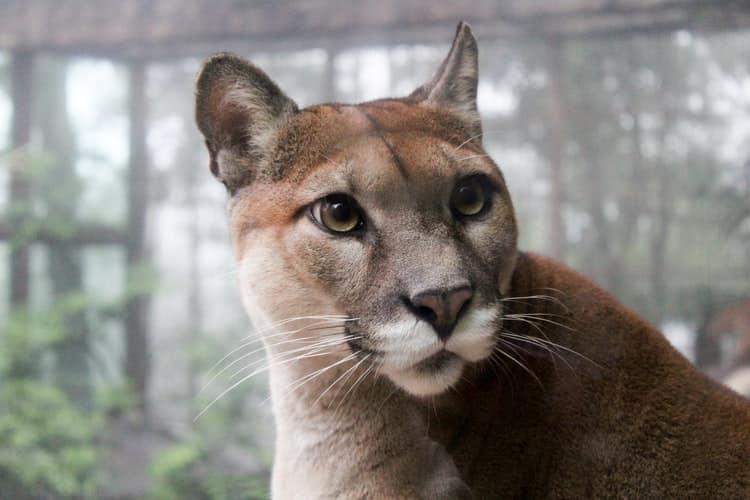 Puma hautnah: schöne Großkatzen