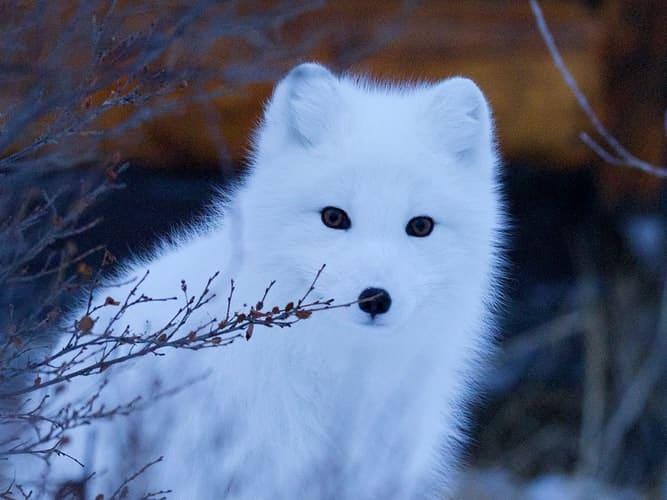 Beautiful Arctic fox of Sweden's wildlife