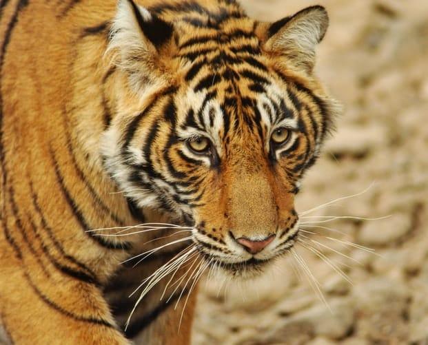 big cats: a tiger