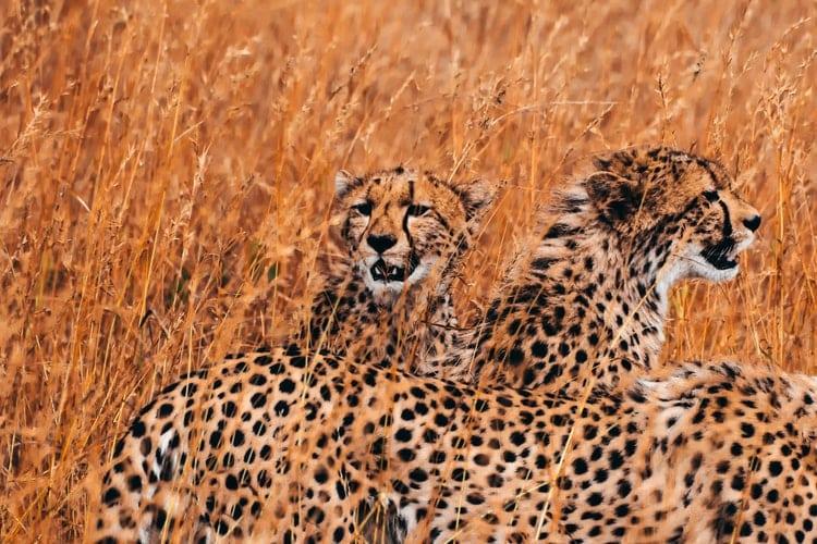 cheetah family in savanna