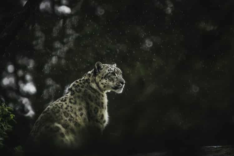 big cats; snow leopard in Europe