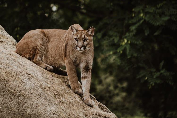 Puma en Canadá
