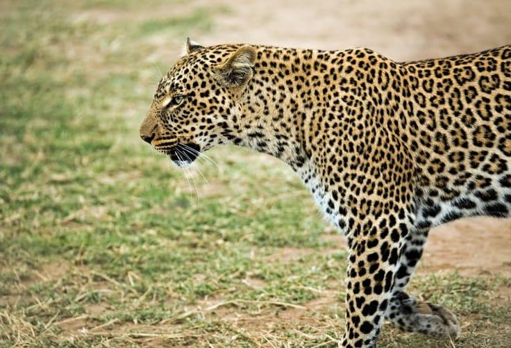 ein Leopard