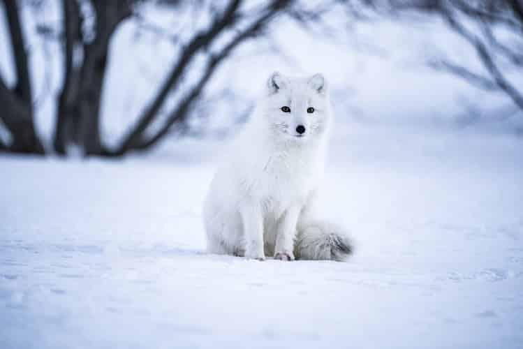 Sweden's wildlife captured : an arctic fox in winter