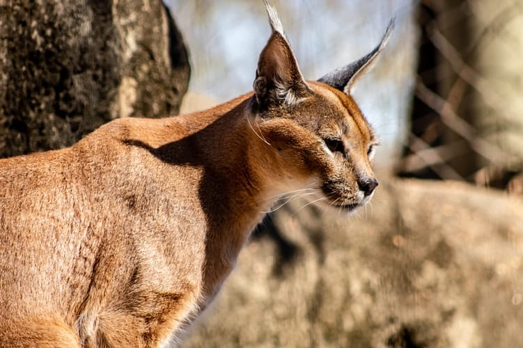A caracal during lockdown