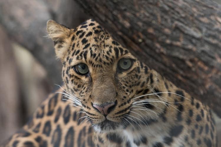 Jaguar in South America
