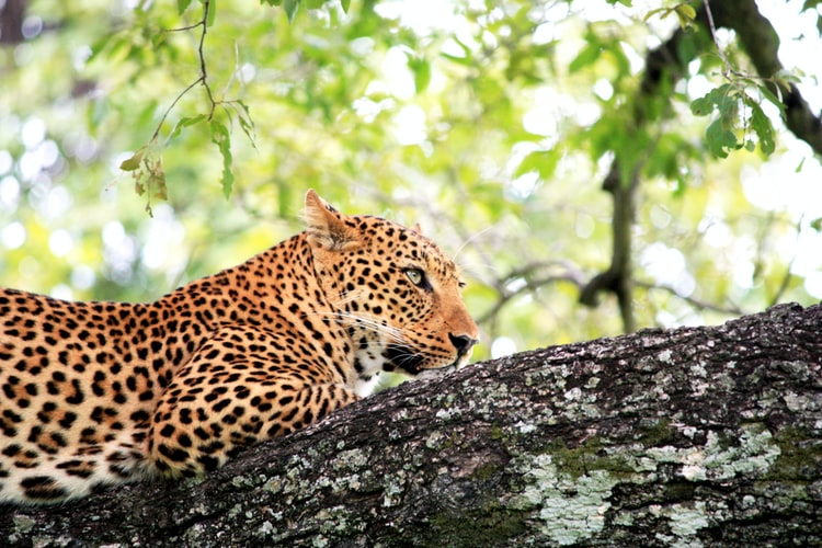 African leopard in tree: zambia
