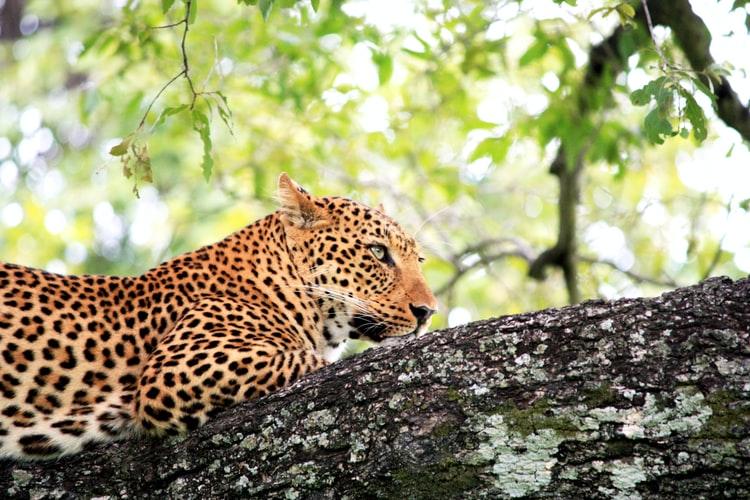 Leopardo africano en árbol: zambia