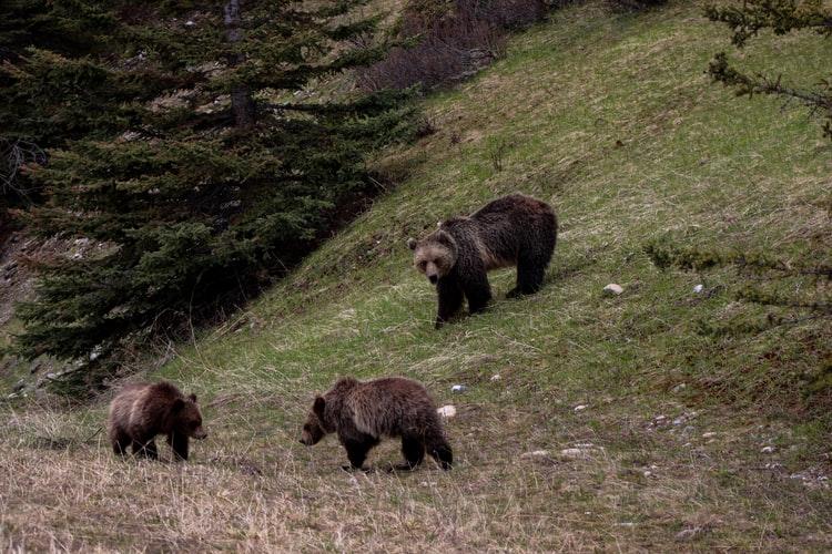 Brown bear family of Sweden's wildlife