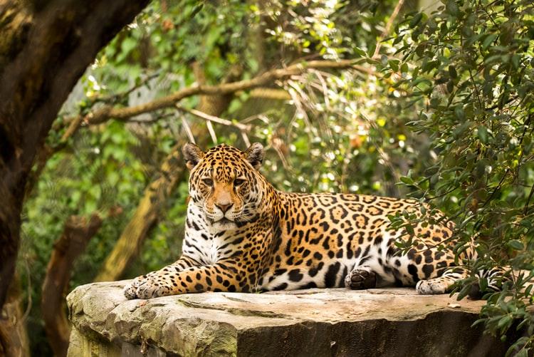 Begegnung mit dem Jaguar