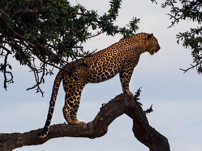 Big cats; leopard in a tree