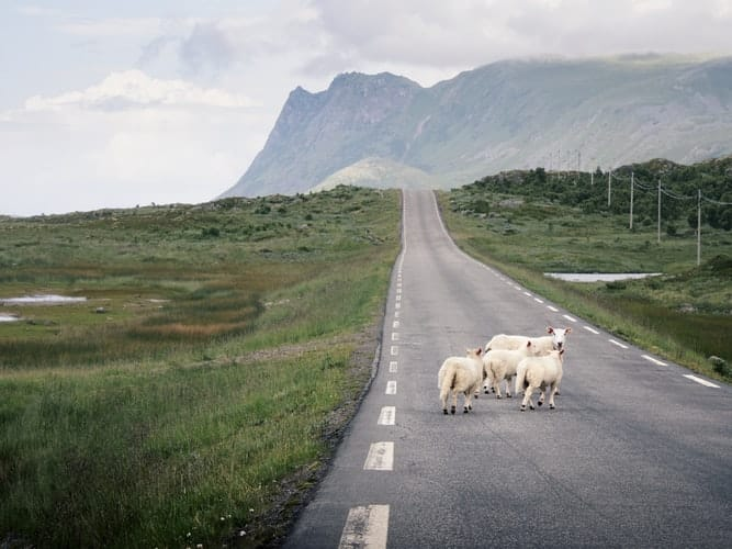 Sheep crossing a road