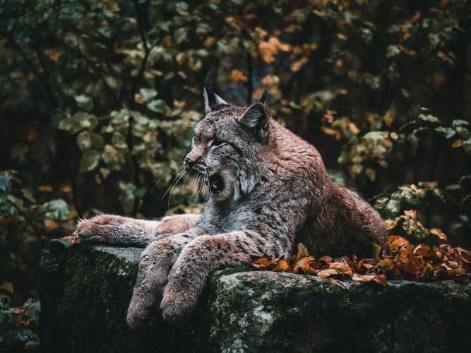 A lynx in Sweden yawning