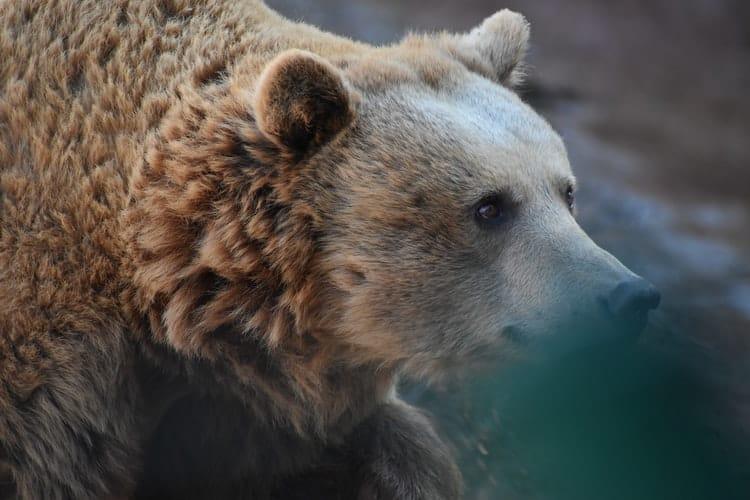 A beautiful Brown bear