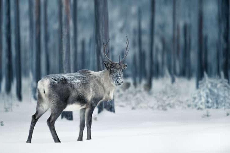 Un reno en Suecia