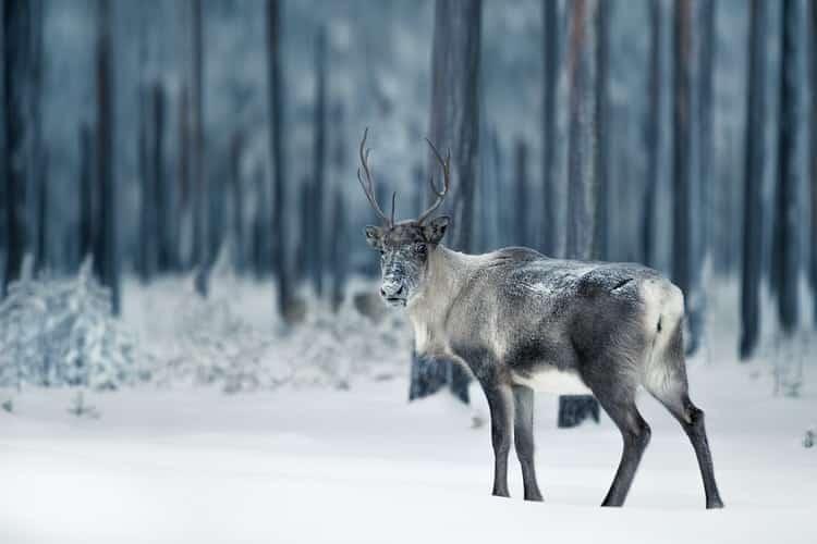 A reindeer in Sweden