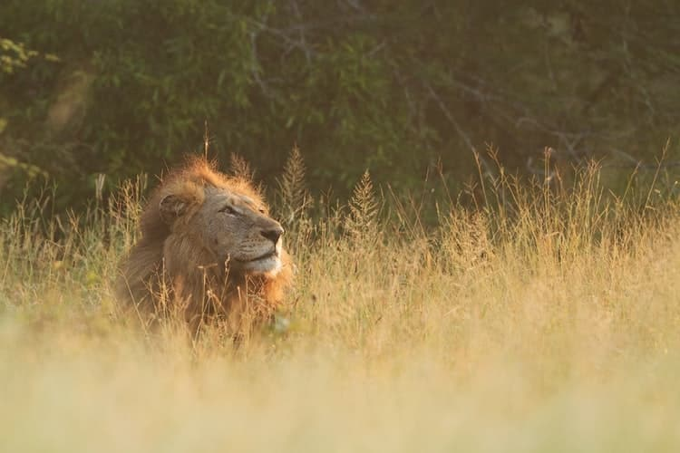 A lion in south africa; one of the big cats
