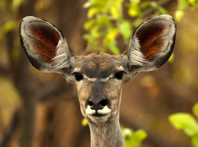 Recorrer Zambia con la vida silvestre como este ciervo