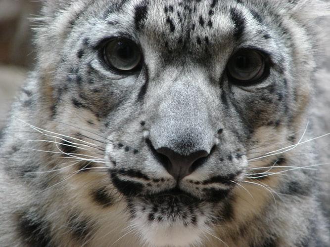 wildlife in asia: snow leopard