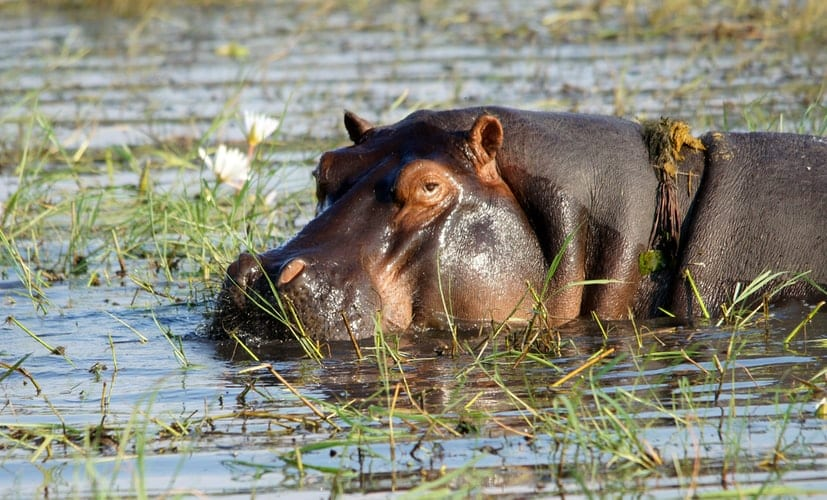 Tour Zambia: A hippopotamus in a lake