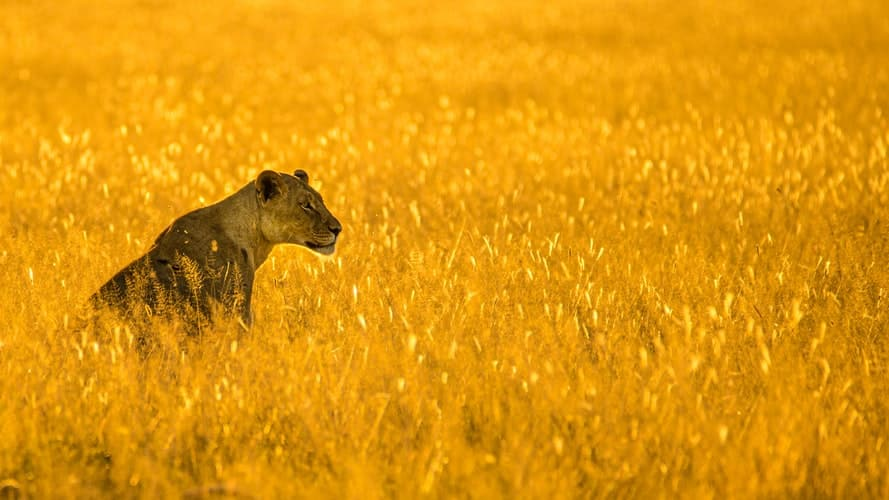 Lioness in field: big cats