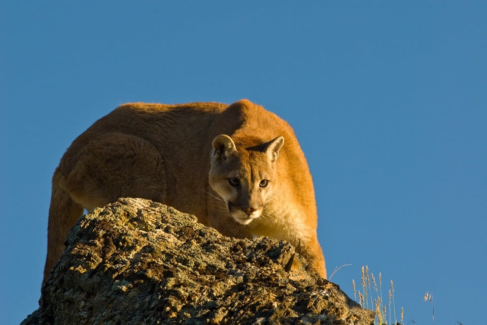 Cougar: wildlife during lockdown