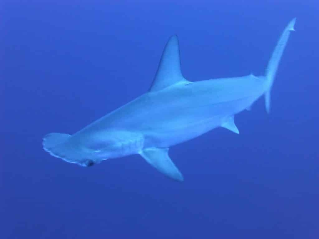 Inmersión del tiburón martillo