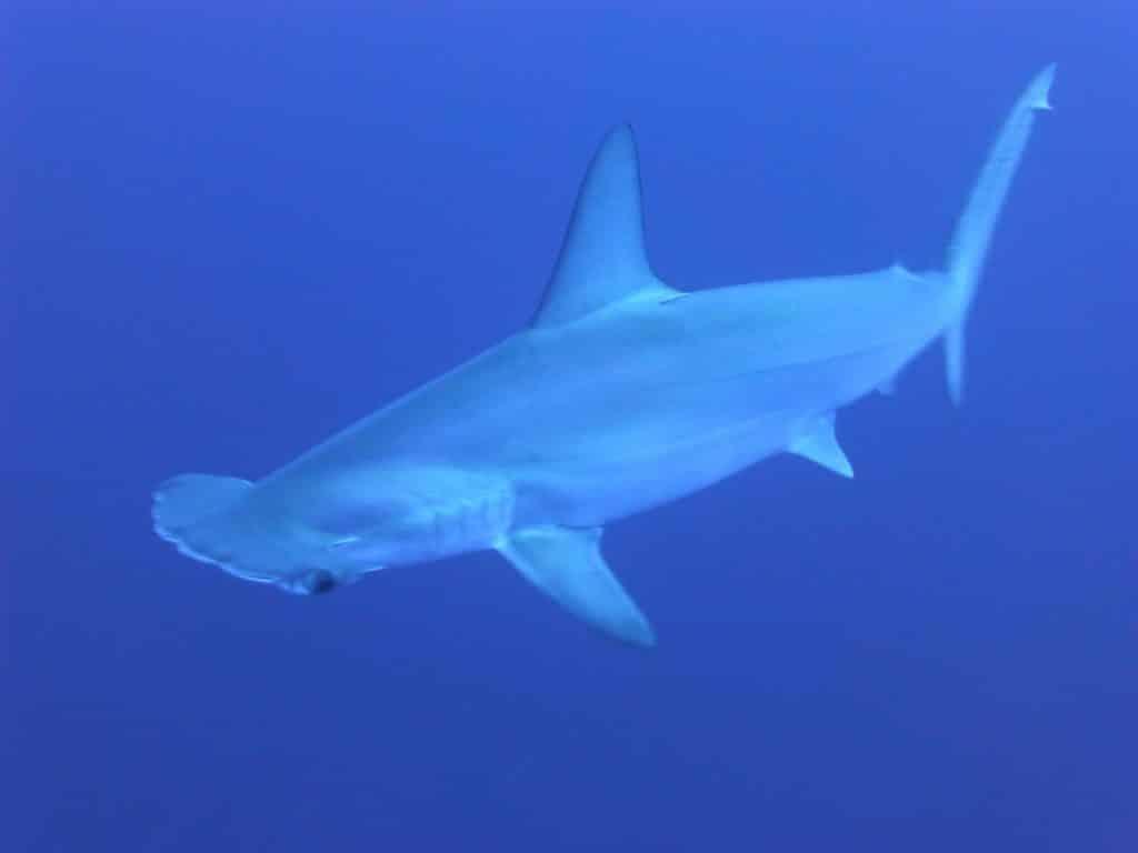 Hammerhead shark dive