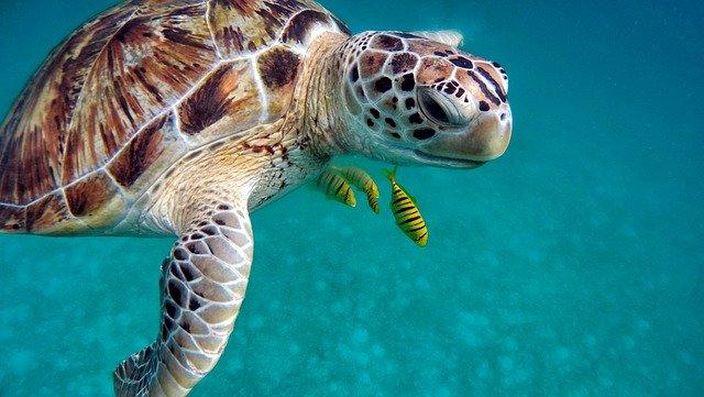 fauna marina en la tortuga boba de grecia