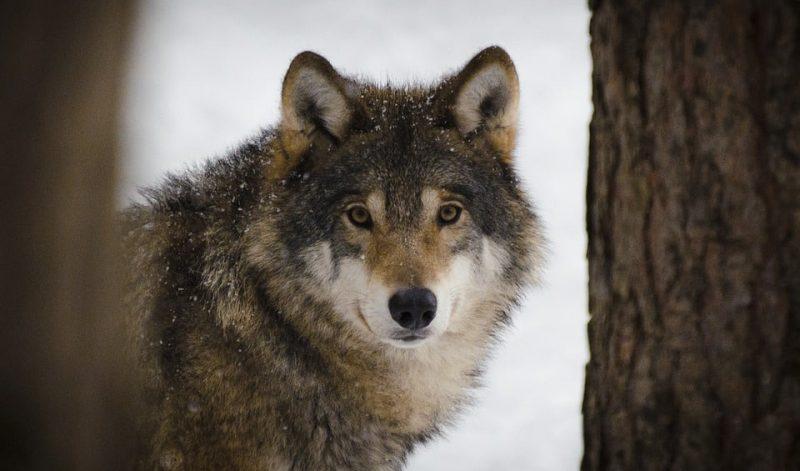 wolf-in winter sweden