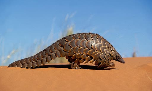 Pangolin in motion