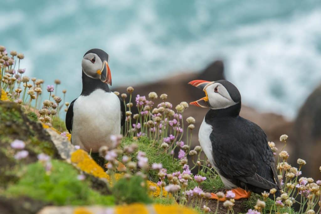 The Atlantic Puffin