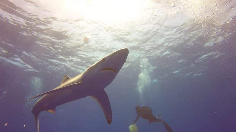 Blue sharks in the Azores