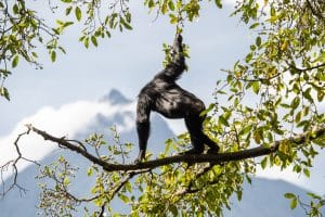 Chimpanzee gazing out over Virunga National Park