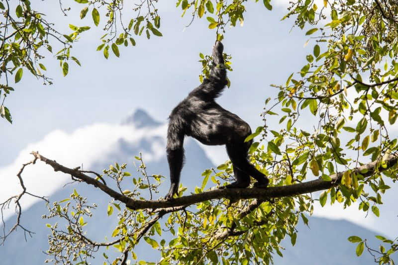 Chimpanzee gazing out over Virunga National Park