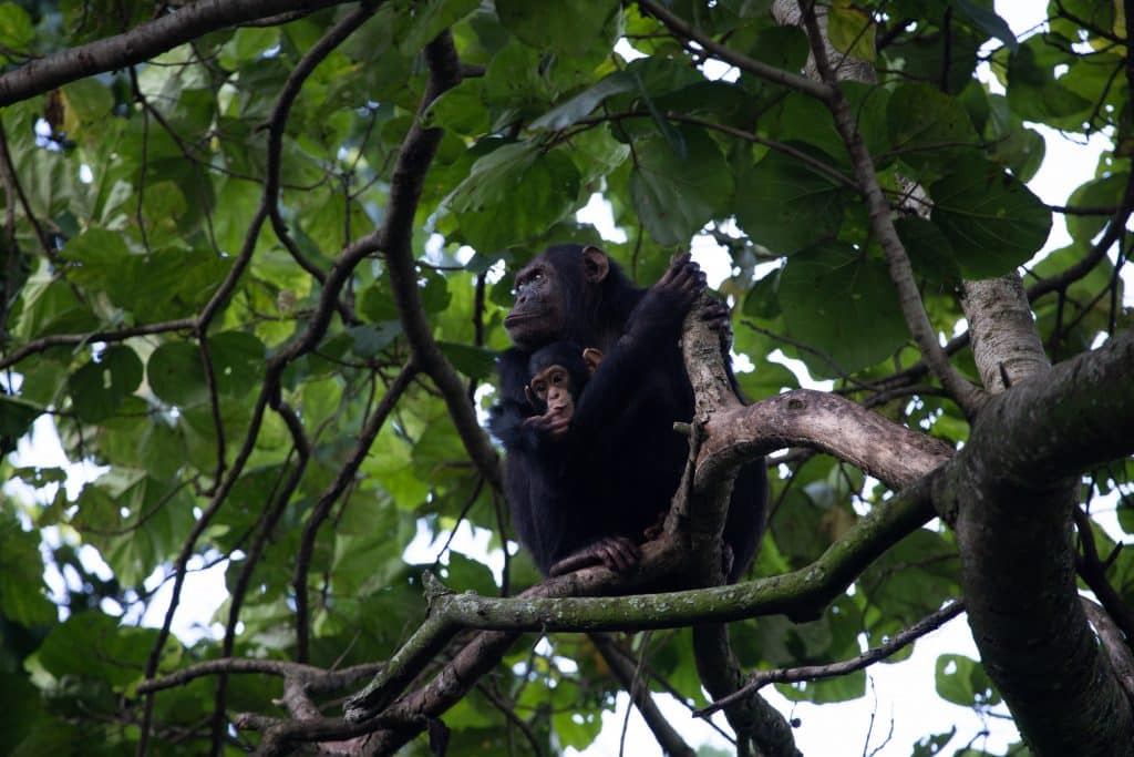 Mother and baby chimpanzee in virunga national park