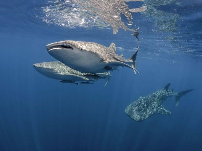 Swim with whale sharks in Gladden Spit, Belize