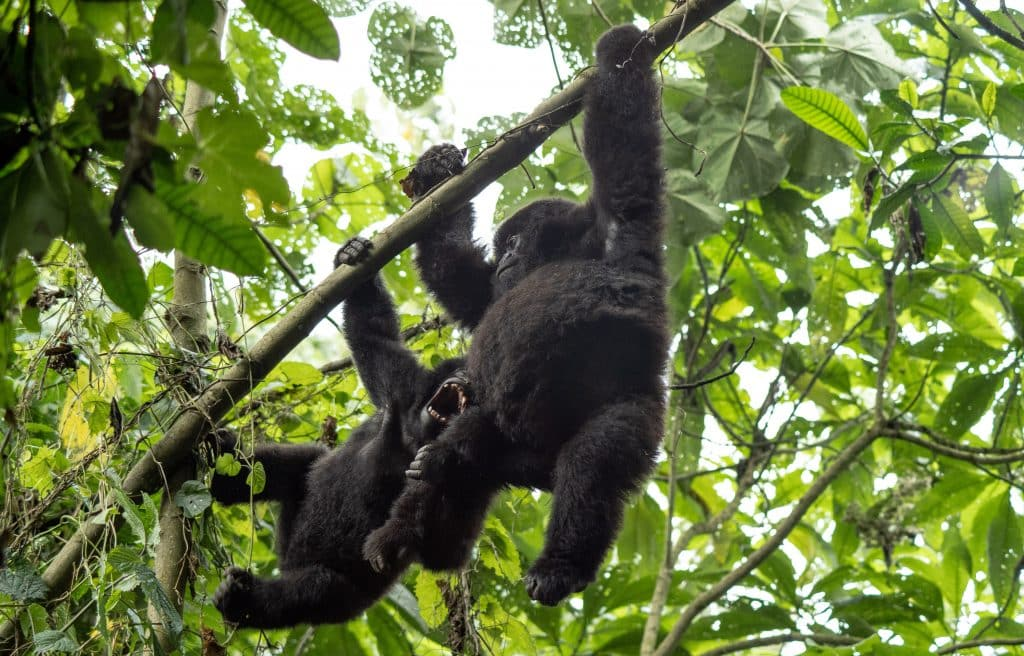 Two juveniles play in the trees above in Virunga National Park