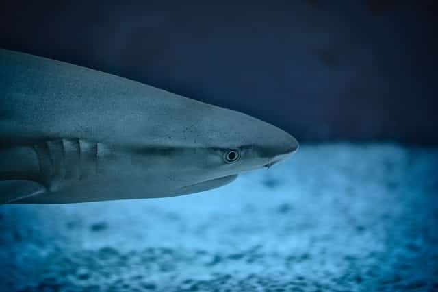 diving with blue sharks