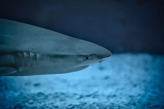 Tauchen mit Blauhaien