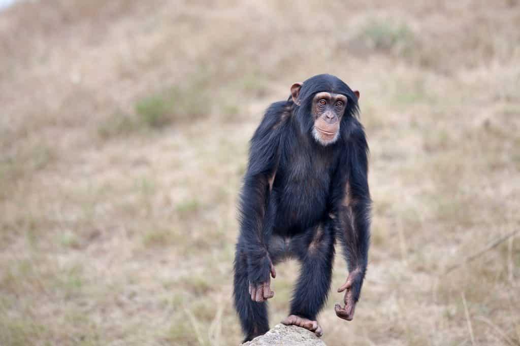 Chimp walking