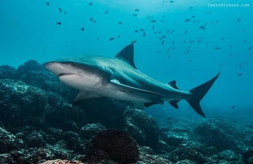diving bull shark in costa rica